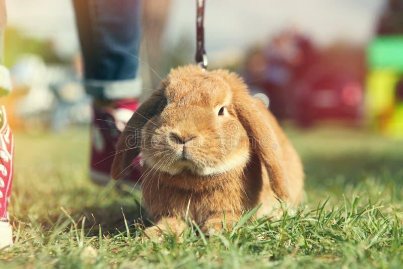 brown królik obrazy royalty free