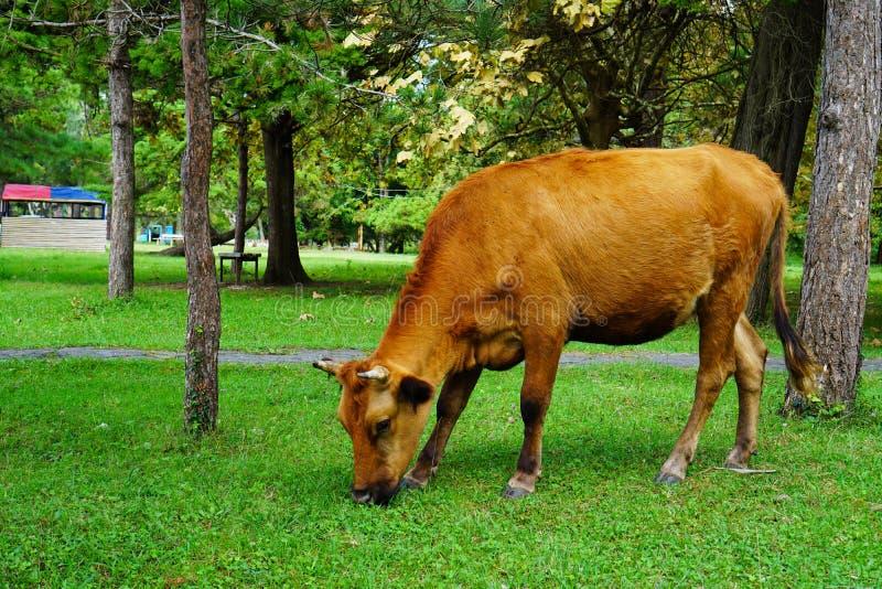 Brown krowa je trawy w parku w lecie fotografia royalty free