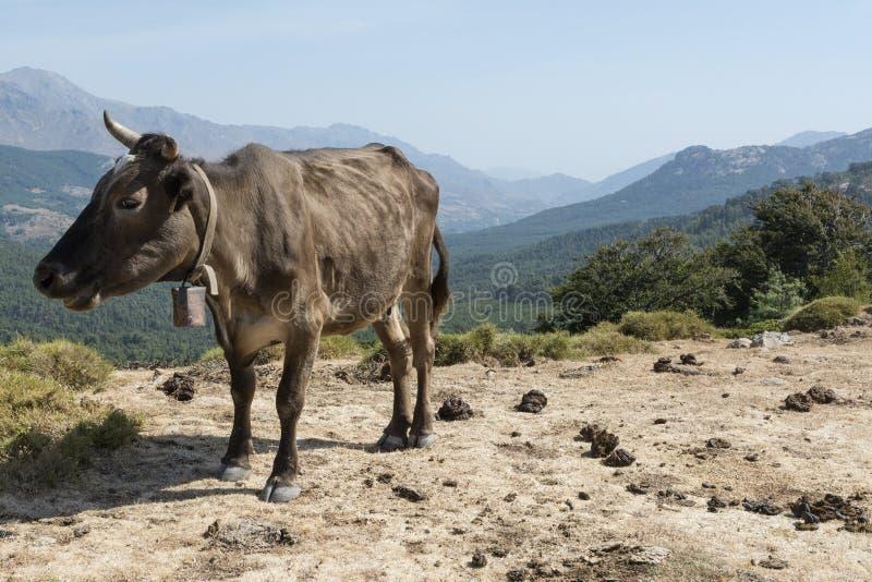 Brown krowa wolno wędruje na halnej łące zdjęcie royalty free