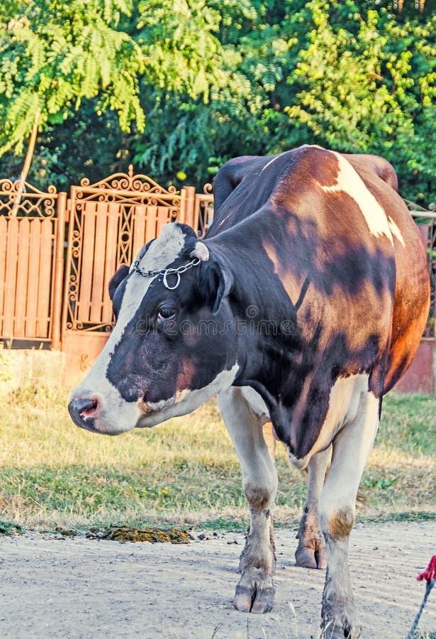 Brown krowa z białymi punktami, wieś, plenerowa obraz royalty free