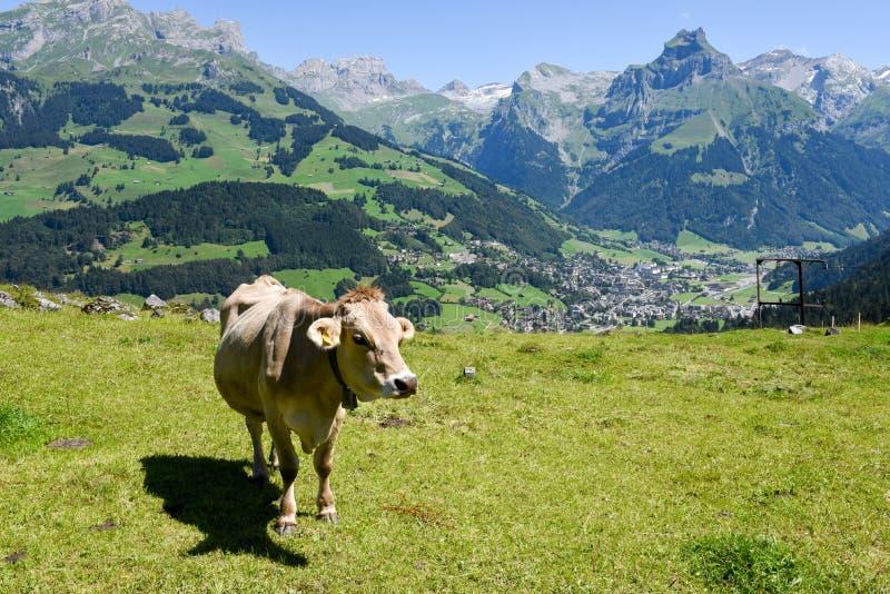 Brown-Kuh in der Alpenwiese in Engelberg stockfoto