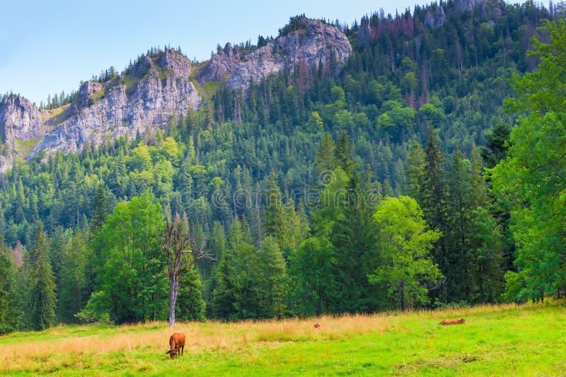 Brown-Kuh, die in einer Wiese weiden lässt stockfotos