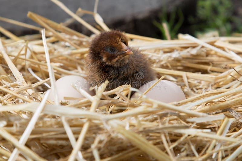 Brown kurczątko z dwa jajkami fotografia stock