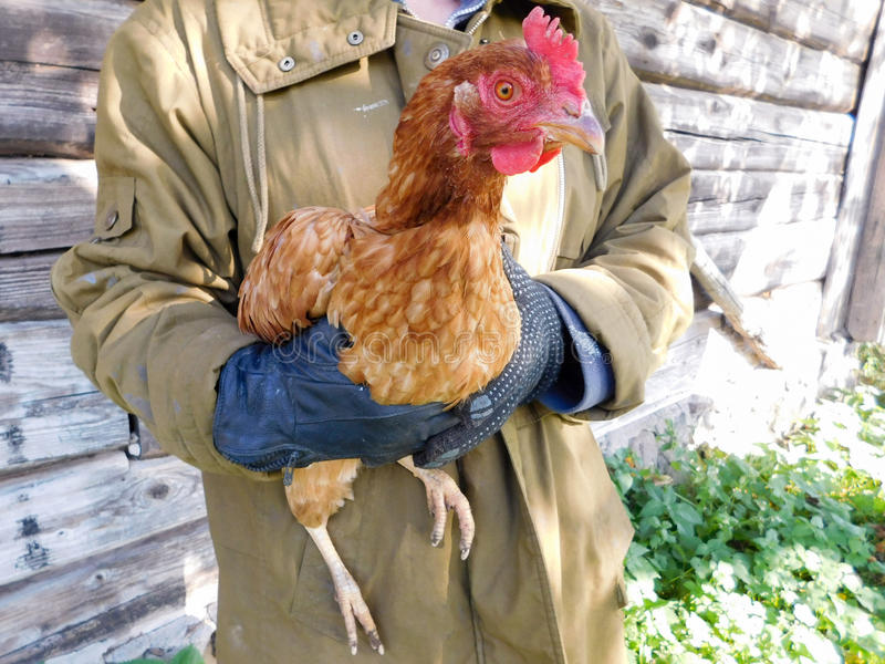 Brown kurczak obraz royalty free