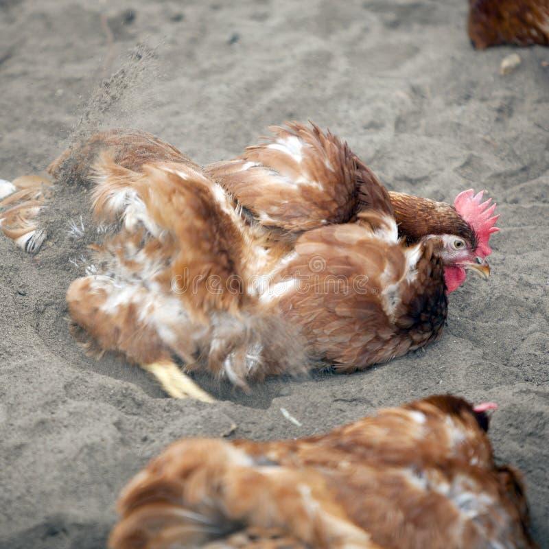 Brown kurczak na zewnątrz farmy drobiu w Holland wp8lywy piaska skąpaniu obraz royalty free