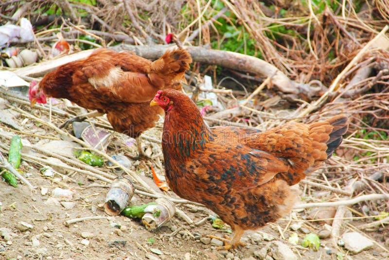 Brown kurny patrze? dla jedzenia w rolnym jardzie kurczaki Bezp?atny pasmo kogut, karmazynki i fotografia stock