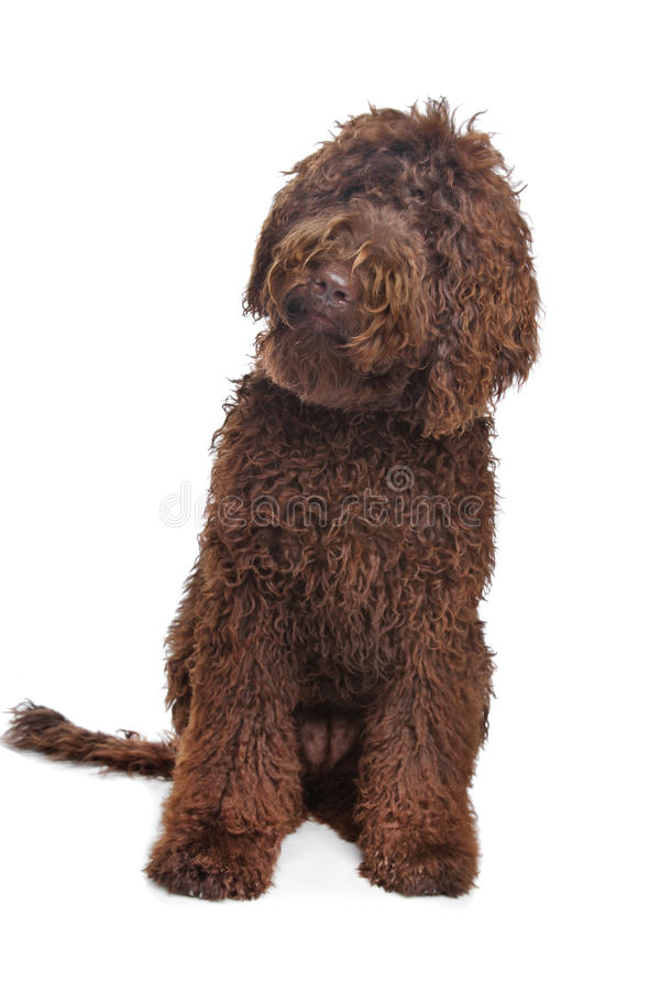 Brown Labradoodle. In front of a white background royalty free stock images