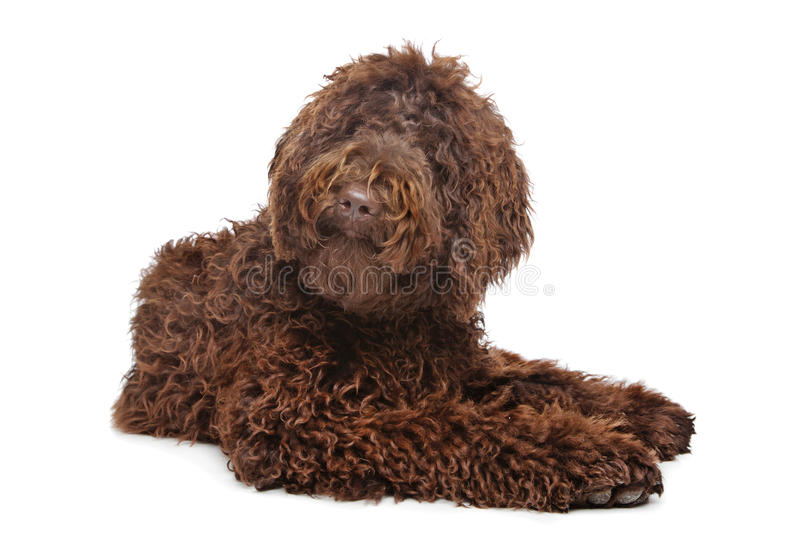 Brown Labradoodle. In front of a white background stock photos