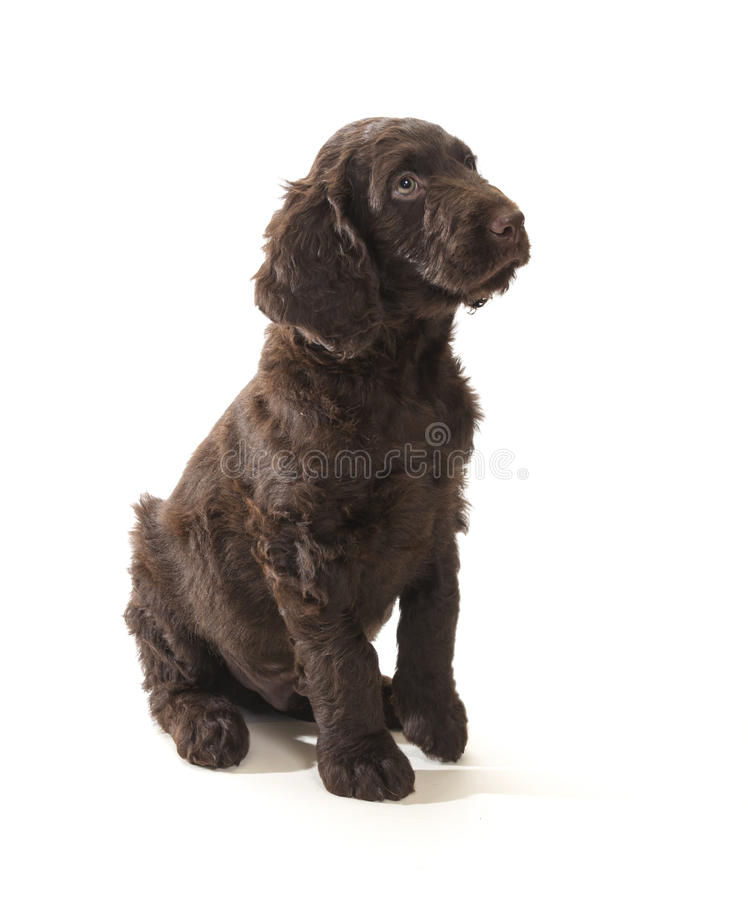 Download Brown Labradoodle Stock Image - Image: 29837461
