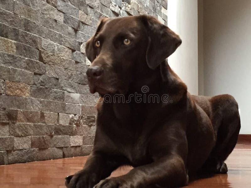 brown labrador obrazy stock