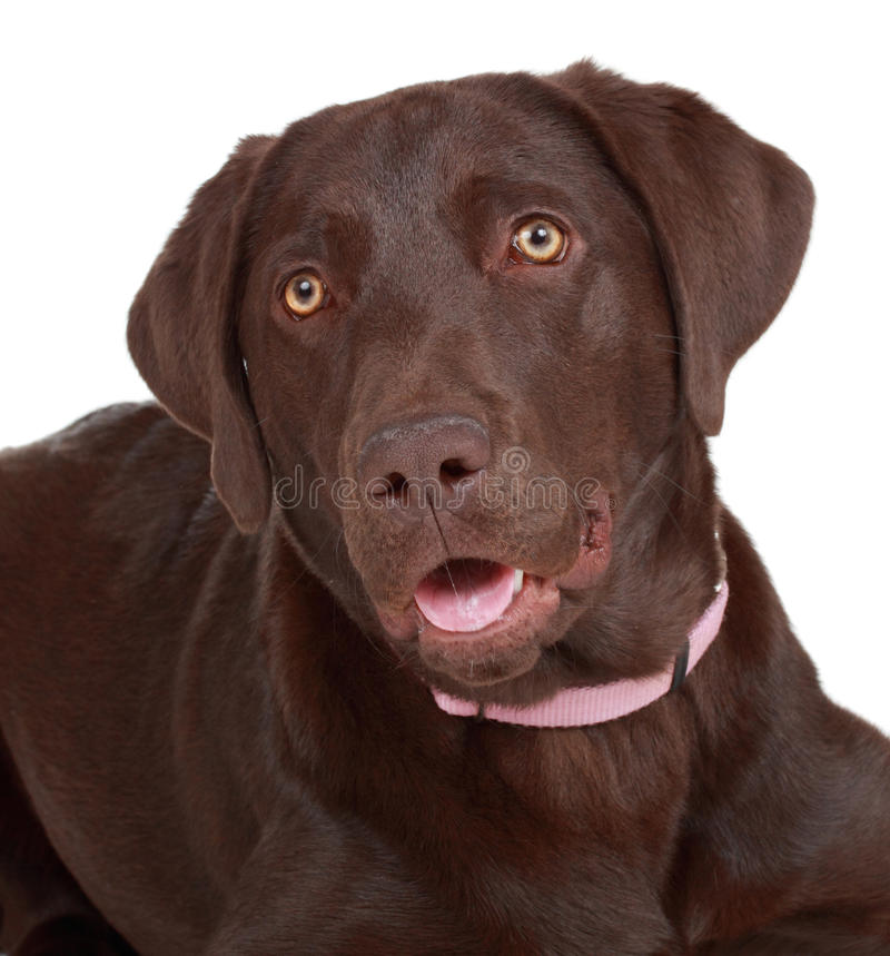Brown labrador dog stock photography