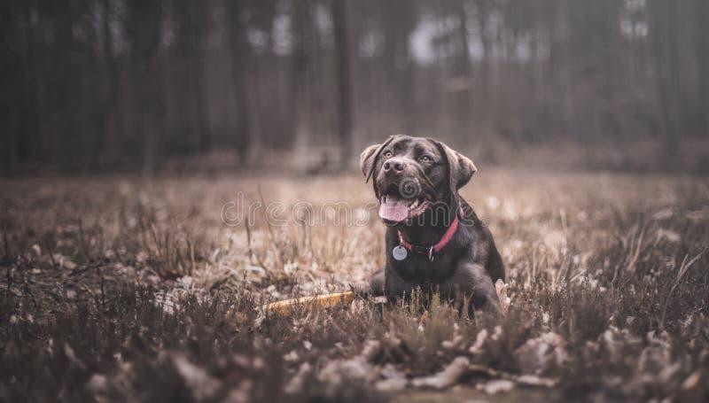 Brown labrador stock photo