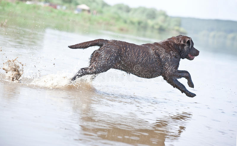 Brown labrador jumping in the water stock image