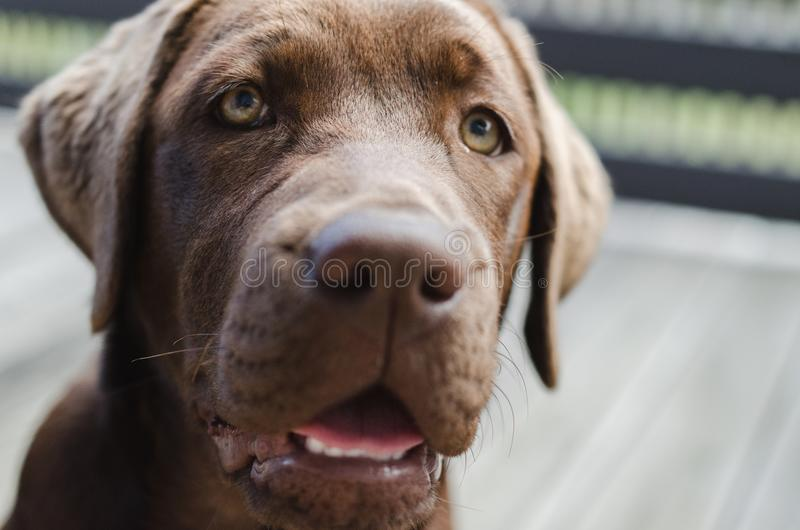 Brown labrador puppy looking at camera stock images