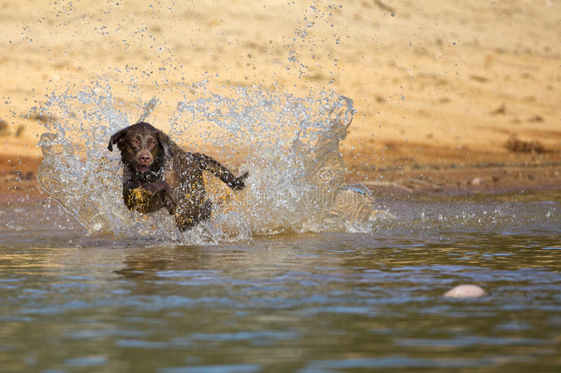 Brown labrador retriever jumps in the water. A happy brown labrador retriever jumps in the water after a duck royalty free stock photo