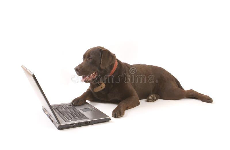 Brown Labrador travaillant sur l'ordinateur portatif images stock