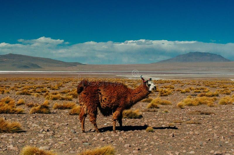 Brown Lama na Laguna Colorada, Boliwia obrazy stock
