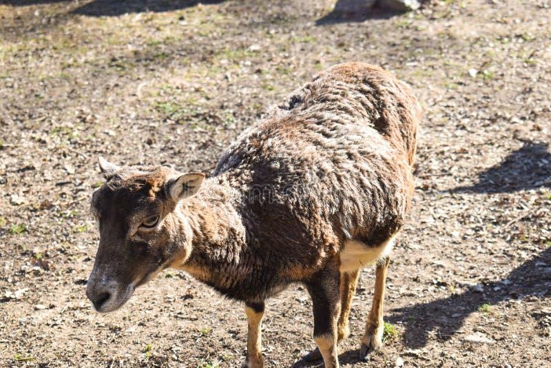 Brown-Lamalama glama, S?ugetier, das in den s?damerikanischen Anden wohnt stockbild