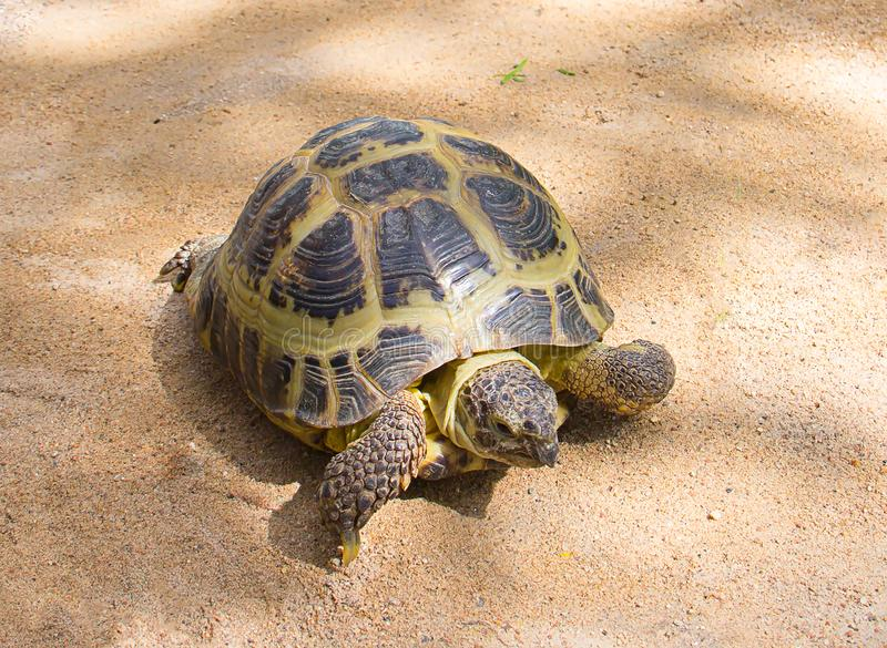 Brown land large turtle crawling on the yellow sand, walking home beloved pet. Close-up royalty free stock photography