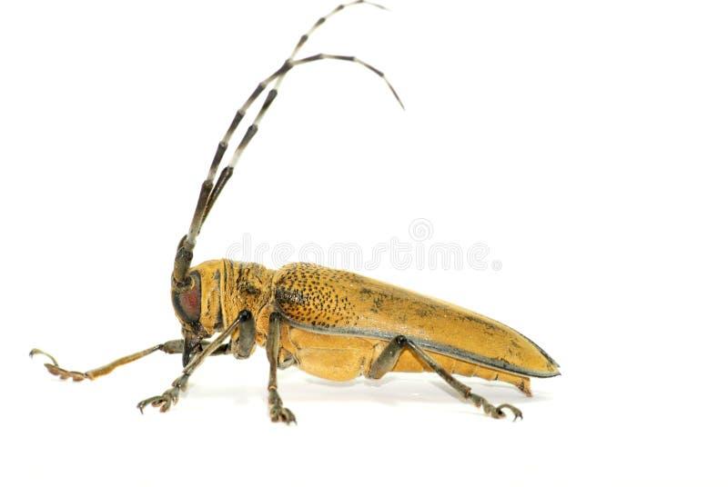Brown-lang-gehörnter Käfer stockbild