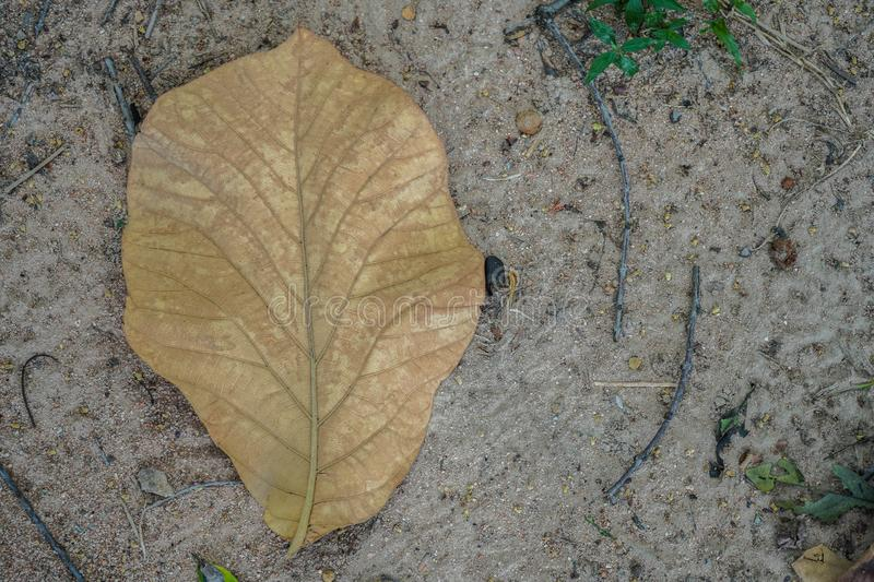 A brown leaf on dead leaves covered forest ground in autum stock image