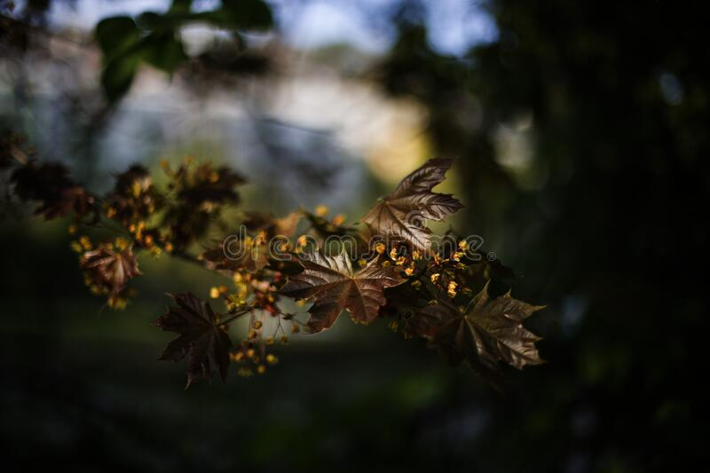 Download Brown Leaf Plant stock photo. Image of photo, maple, leaves - 83014190
