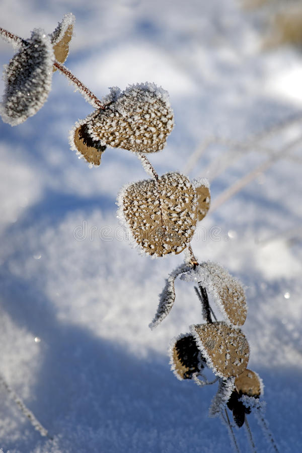 Brown Leaves With Frost Stock Photography