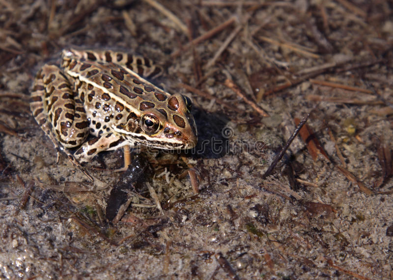Brown Leopard Frog. A leopard frog sitting (Rana pipiens) sitting patiently on the shore stock image