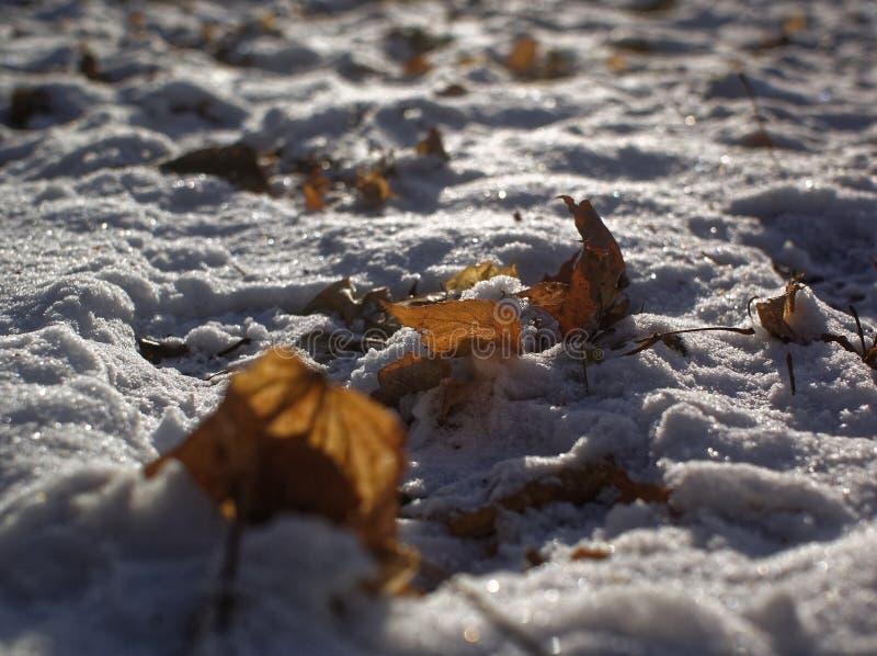 Brown liście w śniegu w zimie zdjęcie stock
