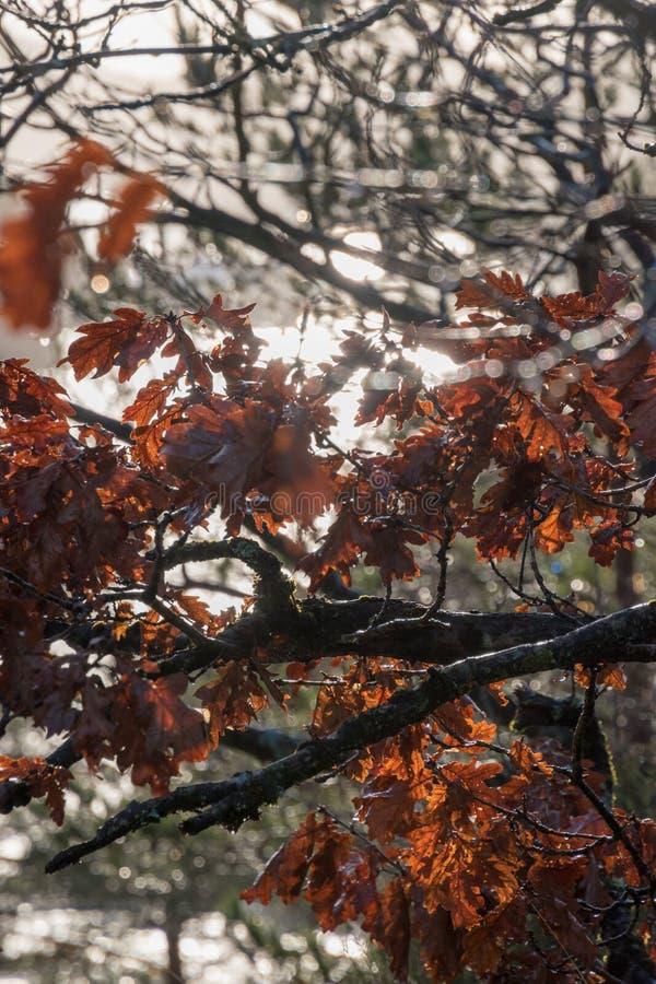 Brown liście w spadku z słońcem obrazy royalty free