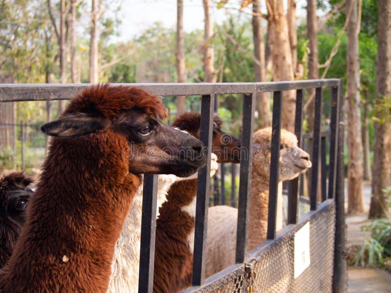 Brown lindo y alpaca blanca de la piel que parecen adelante - cercanos encima de la fotografía de una alpaca marrón, rodeada por  imagenes de archivo