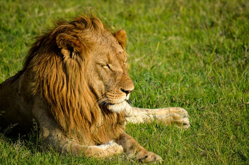 Brown Lion Sitting on Green Grass Field stock images