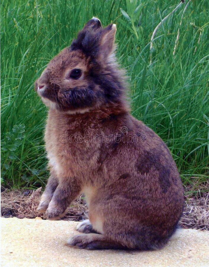 Brown lionhead rabbit up on back legs, England, United Kingdom. Brown lionhead rabbit up on back legs. Lionhead is a breed of domestic rabbit. Taken in a garden royalty free stock photos