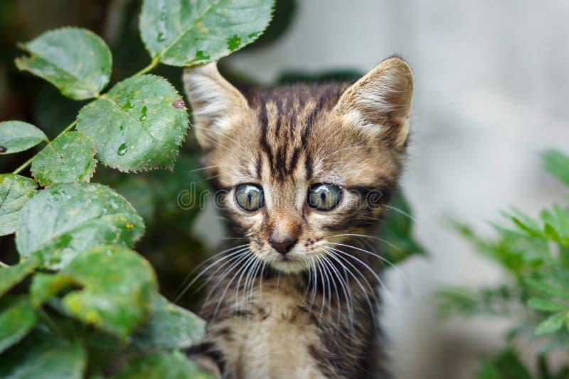 Brown listra o gatinho bonito que anda na grama imagens de stock