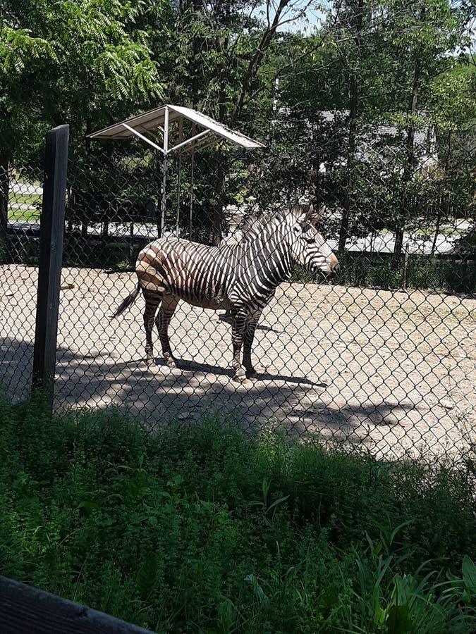 Brown listrou a zebra foto de stock