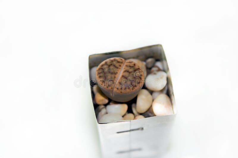 Brown lithops r w garnku zdjęcia royalty free