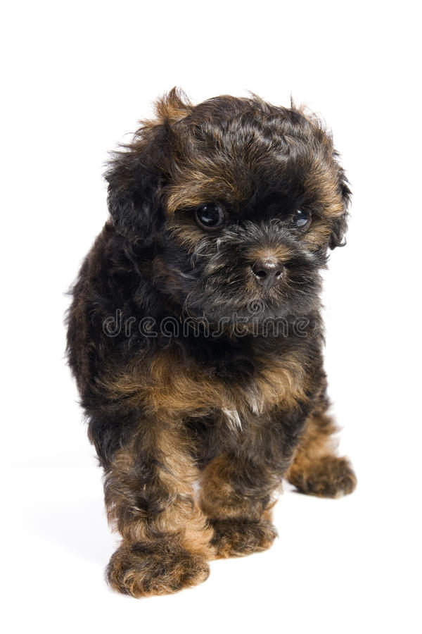 Free Brown Little Havanese Puppy Royalty Free Stock Photography - 18317397