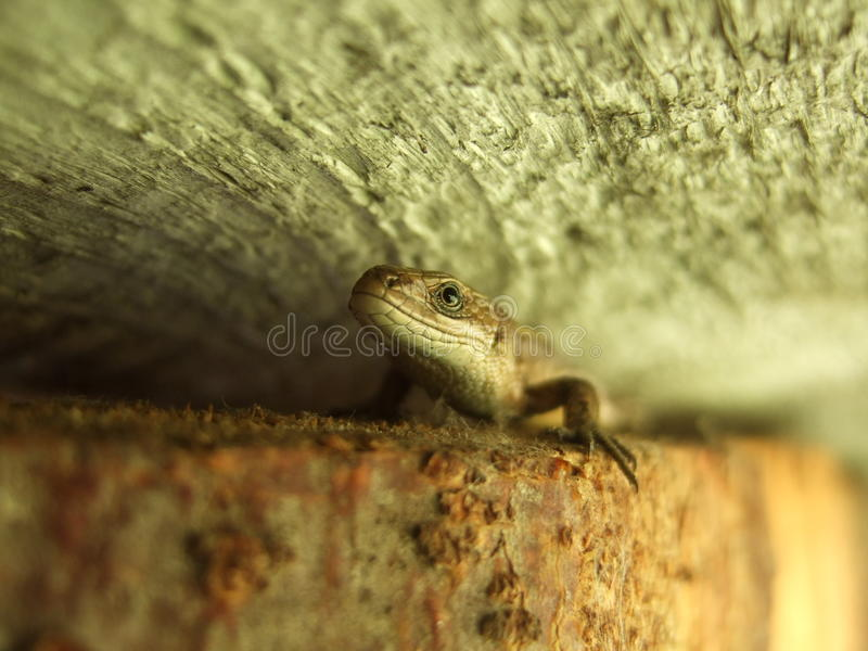 Brown lizard royalty free stock photography