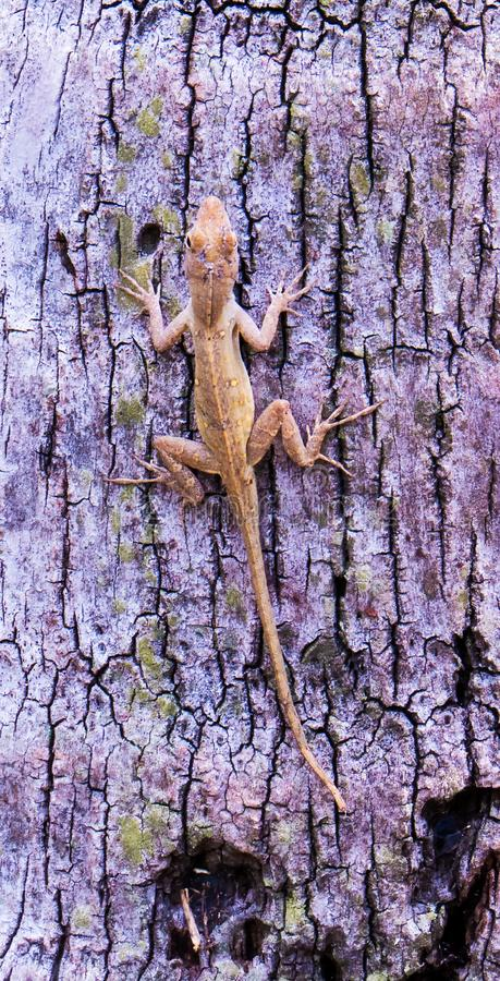 Brown lizard on the bark of a palm tree. A cute brown lizard on the bark of a palm tree from Nassau in the Bahamas royalty free stock images