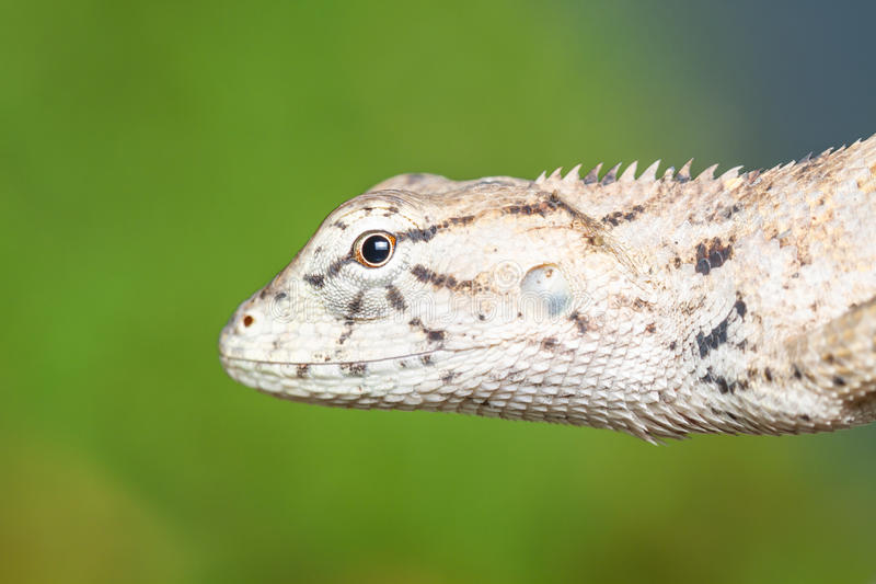 Brown lizard head shot. With green background stock photos