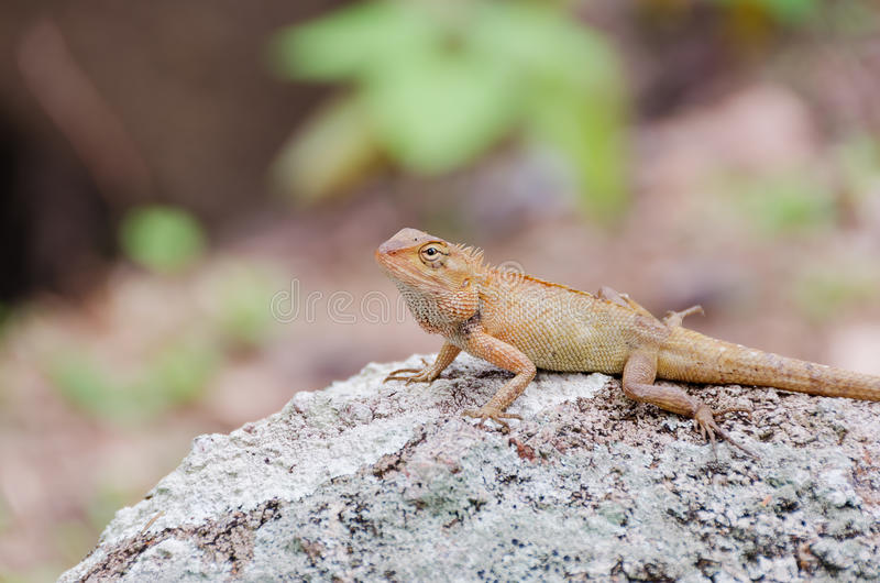 Brown lizard. On a large stone in tropical wood royalty free stock images