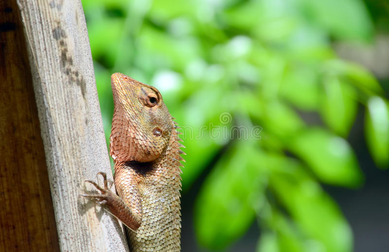 Brown lizard. On the palm tree in tropical wood stock photography