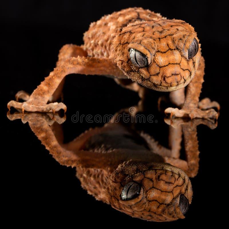 Brown Lizard's Image Reflecting on Floor stock photography