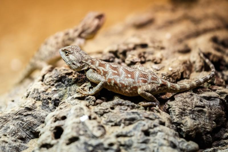 Brown lizard sitting on a brown stone stock image