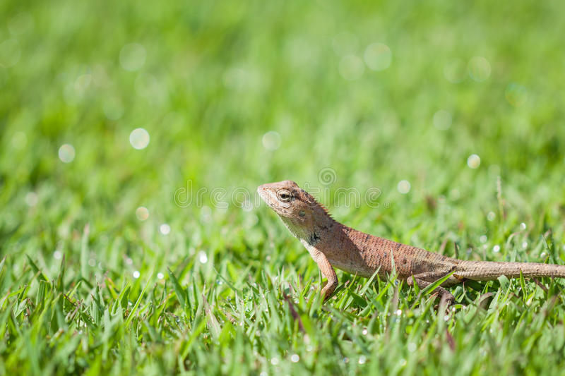 Brown lizard standing on grass with bokeh. Brown lizard (reptile) standing on grass with bokeh stock photo