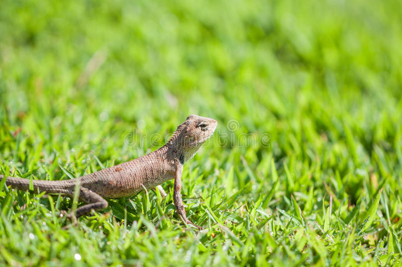 Brown lizard standing on grass. Brown lizard (reptile) standing on grass royalty free stock photography