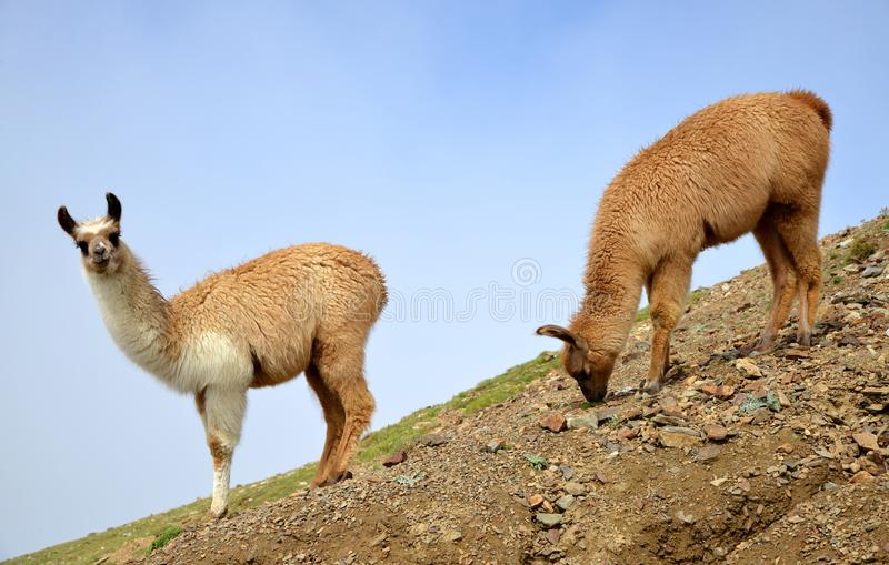Brown llama lama glama royalty free stock image