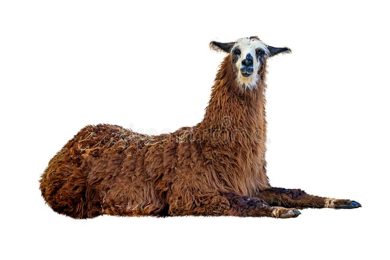 Brown Llama Lying Down Isolated on White. Brown llama lying down on white background looking at camera royalty free stock images