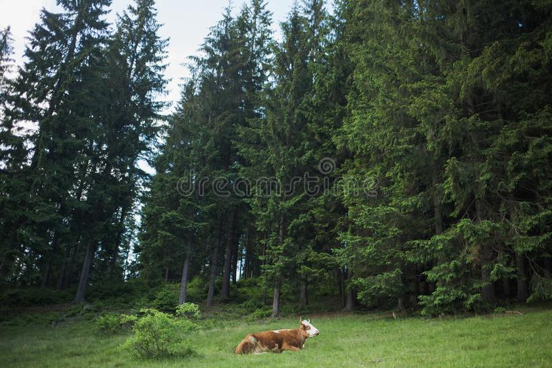 Brown lonely cow lying down. At pasture in old wood with green huge trees. Horizontal color photography royalty free stock photography