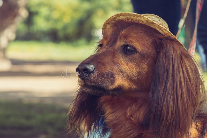 Brown long-haired dachshund with smart eyes in the hat. royalty free stock photo